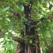 菩提树下L